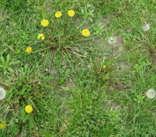 Accelerated Weed Growth in Your Lawn