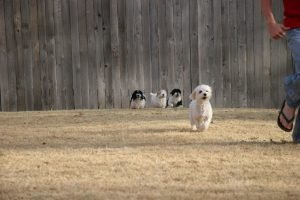 Nine week old puppies are chasing their mom and a young man.
