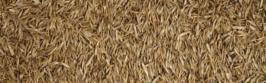 Close up of grass seed, wallpaper, background