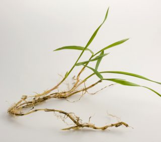 Crabgrass gotcha'?  If so, what should you do now?