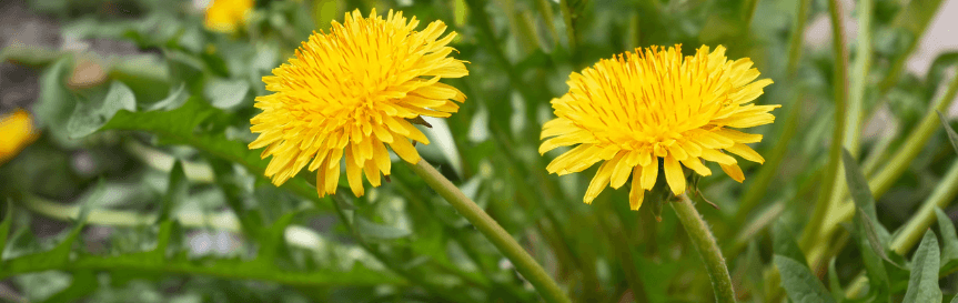 dandelions_in_grass_use_weed_control