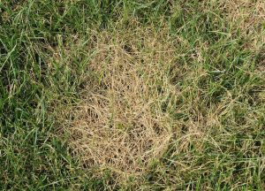brown patch of grass with green surrounding it