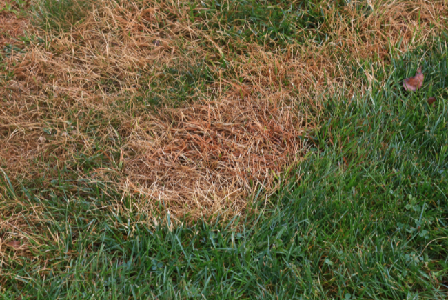 example of grass with a grub infestation