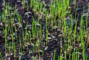 new green grass seed germination brown soil