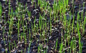 grass seed germinating