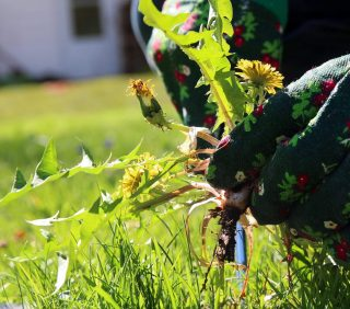 dandelion weed pulled from ground by gardening gloves hands