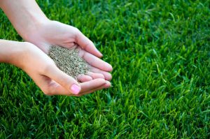 woman hands holding grass seed over green grass