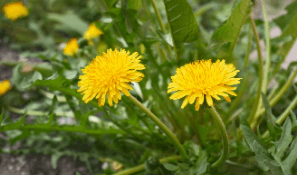 yellow_dandelions_in_the_grass